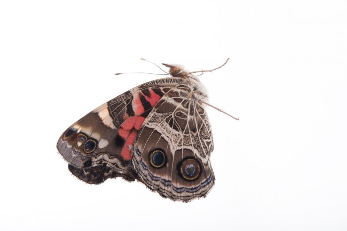American lady butterfly (Vanessa virginiensis) at Cross Lake, Minnesota.