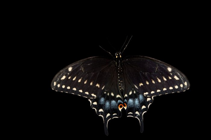 Picture of a black swallowtail (Papilio polyxenes) at the Minnesota Zoo.