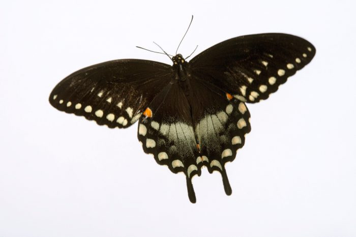Picture of a spicebush swallowtail (Papilio troilus fakahatcheensis) at the Minnesota Zoo.