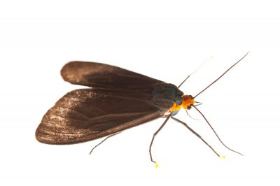 Virginia ctenucha (Ctenucha virginica) from Cross Lake, Minnesota.