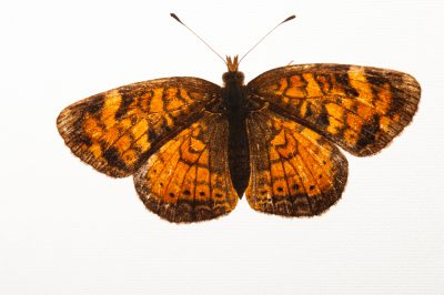 A Northern crescent butterfly (Phyciodes cocyta) from a prairie near Cross Lake, Minnesota.