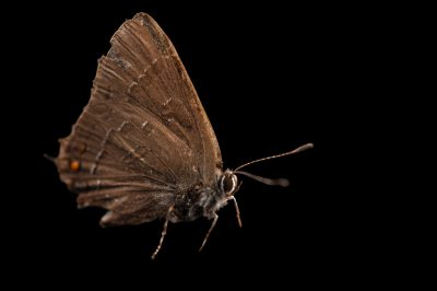 A banded hairstreak butterfly (Satyrium calanus) from Cross Lake, Minnesota.