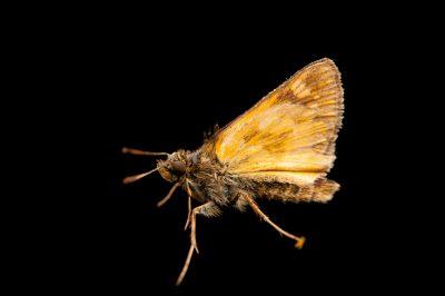 A hobomok skipper butterfly (Poanes hobomok) from a prairie near Cross Lake, Minnesota.