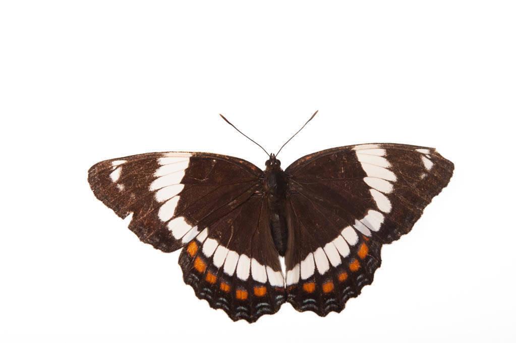 White admiral butterfly (Limenitis arthemis) from a prairie woodland near Cross Lake, Minnesota.