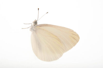 Mustard white butterfly (Pieris oleracea) from a mix of prairie and woodlands near Cross Lake, Minnesota.