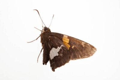 Picture of a silver-spotted skipper (Epargyreus clarus) from a prairie woodland near Cross Lake, Minnesota.