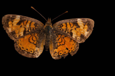 Northern crescent (Phyciodes cocyta) from a prairie woodland near Cross Lake, Minnesota.