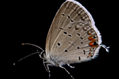 An Eastern tailed-blue butterfly (Cupido comyntas) from Neale Woods in Butler County, Nebraska.