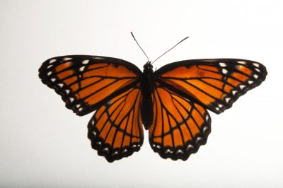 A Viceroy butterfly (Limenitis archippus) at the Lincoln Children's Zoo in Lincoln, Nebraska.