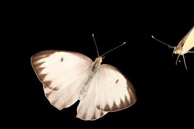 A great southern white butterfly (Ascia monuste) at the Lincoln Children's Zoo in Lincoln, Nebraska.