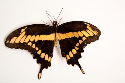 A Giant swallowtail butterfly (Papilio cresphontes) at the Lincoln Children's Zoo in Lincoln, Nebraska.