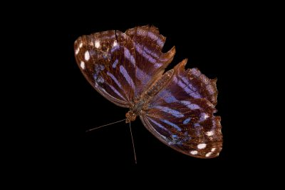 Picture of a Mexican bluewing butterfly (Myscelia ethusa ethusa) at the Gladys Porter Zoo in Brownsville, Texas.
