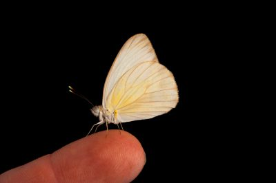 A great southern white butterfly (Ascia monuste) at the Gladys Porter Zoo in Brownsville, Texas.