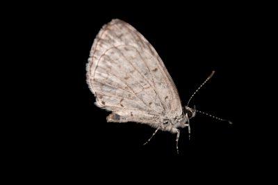 Spring azure butterfly (Celastrina ladon) from Cross Lake, Minnesota.