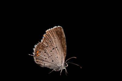 A Western tailed-blue butterfly (Cupido amyntula) from Cross Lake, Minnesota.