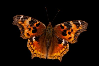 A compton tortoiseshell butterfly (Nymphalis vaualbum) from Cross Lake, Minnesota.