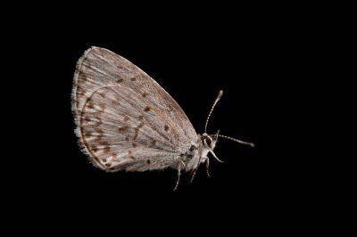 A spring azure butterfly (Celastrina ladon) from Cross Lake, Minnesota.