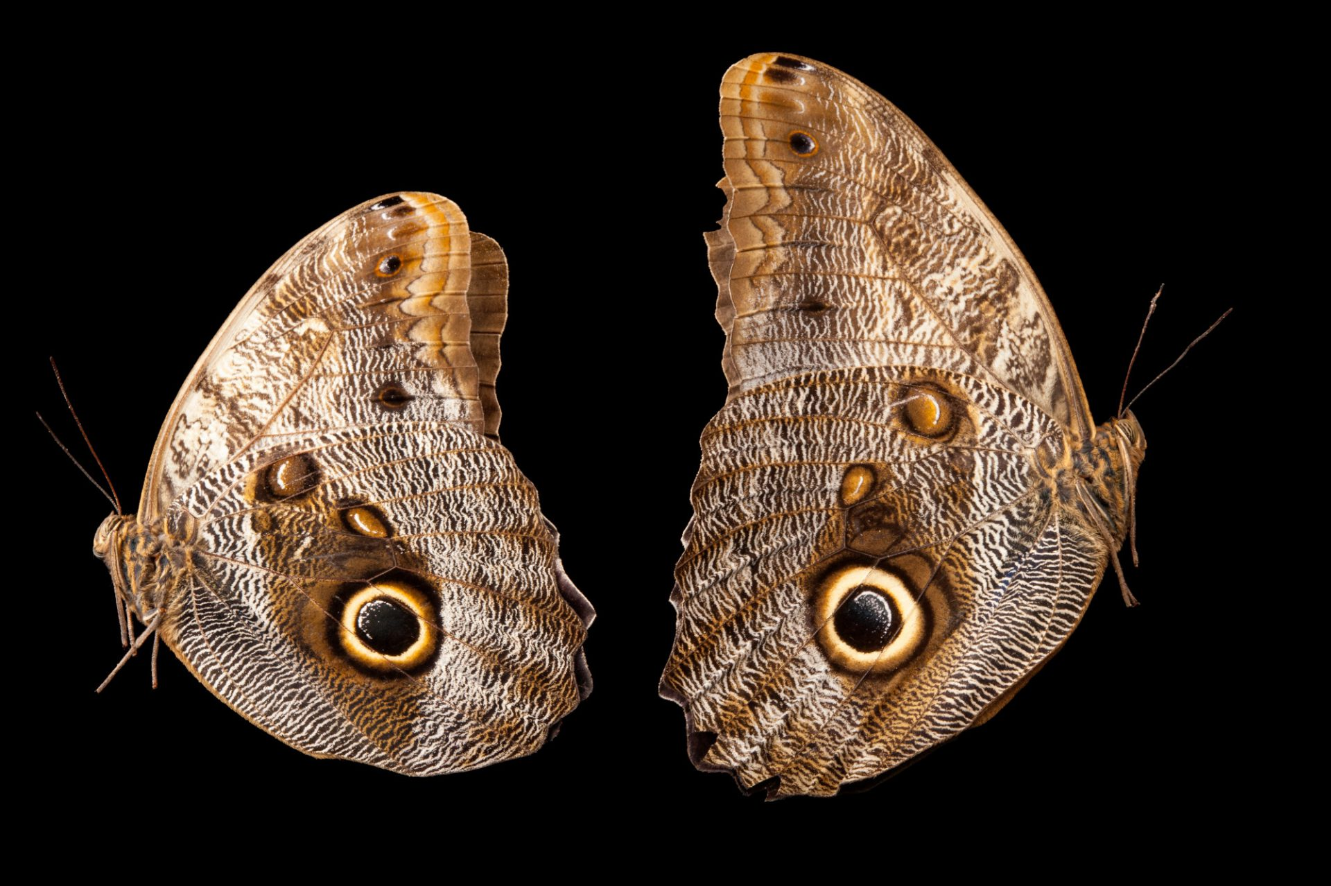 Two owl butterflies (Caligo memnon) at the Insectarium in New Orleans, Louisiana.