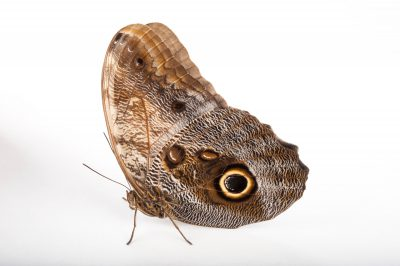 An owl butterfly (Caligo memnon) at the Insectarium in New Orleans, Louisiana.