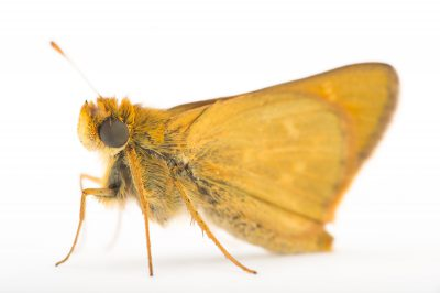 Picture of a vulnerable, male Dakota skipper (Hesperia dacotae) at the Minnesota Zoo.
