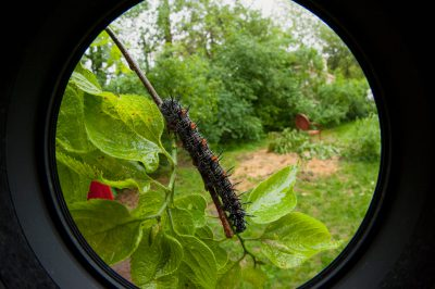 Picture of the caterpillar of the mourning cloak butterfly (Nymphalis antiopa antiopa).