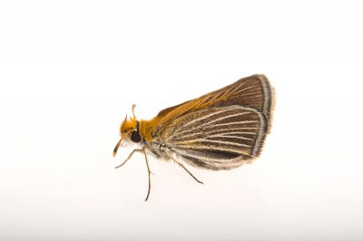 Picture of a federally endangered poweshiek skipperling (Oarisma poweshiek) at the Minnesota Zoo.