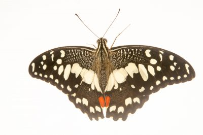 Picture of a common lime butterfly (Papilio demoleus) at the National Botanical Garden in Santo Domingo, Dominican Republic.
