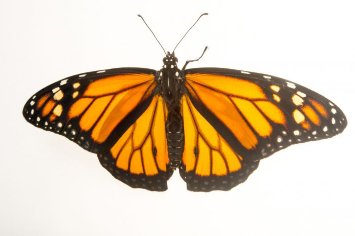 A monarch butterfly (Danaus plexippus megalippe) at the National Botanical Garden in Santo Domingo, Dominican Republic. This is a non-migratory subspecies.