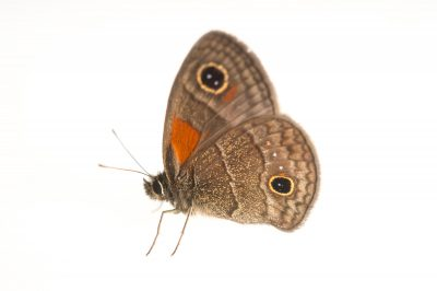 Photo: A calisto batesi butterfly (Calisto bates) at the National Botanical Garden in Santo Domingo, Dominican Republic.