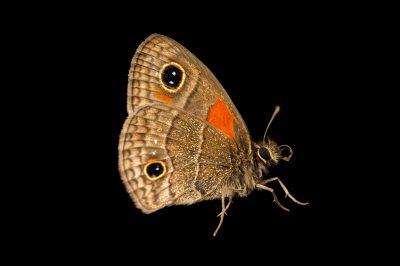 Photo: A calisto batesi butterfly (Calisto bates) at the National Botanical Garden in Santo Domingo, Dominican Republic.