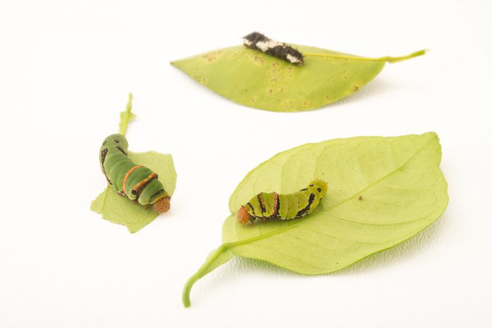 Picture of the three different caterpillar stages of the common lime butterfly (Papilio demoleus) at the National Botanical Garden in Santo Domingo, Dominican Republic.