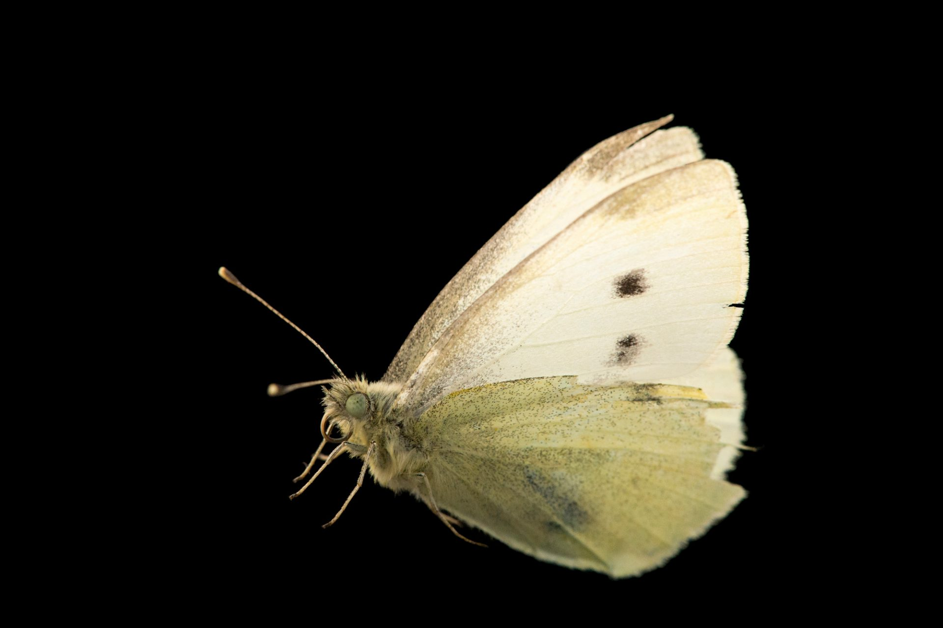 Picture of a small cabbage white butterfly (Pieris rapae rapae) at Healesville Sanctuary.