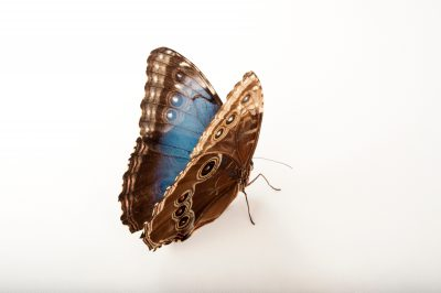 Photo: A blue morpho butterfly (Morpho aega) at the Insectarium in New Orleans, Louisiana.