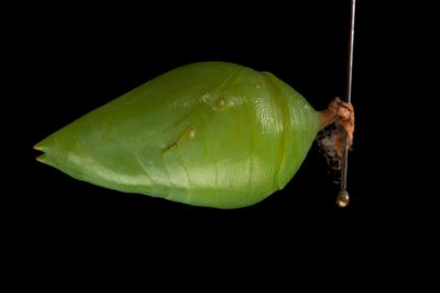 Photo: The chrysalis of a blue morpho butterfly (Morpho aega) at the Insectarium in New Orleans, Louisiana.