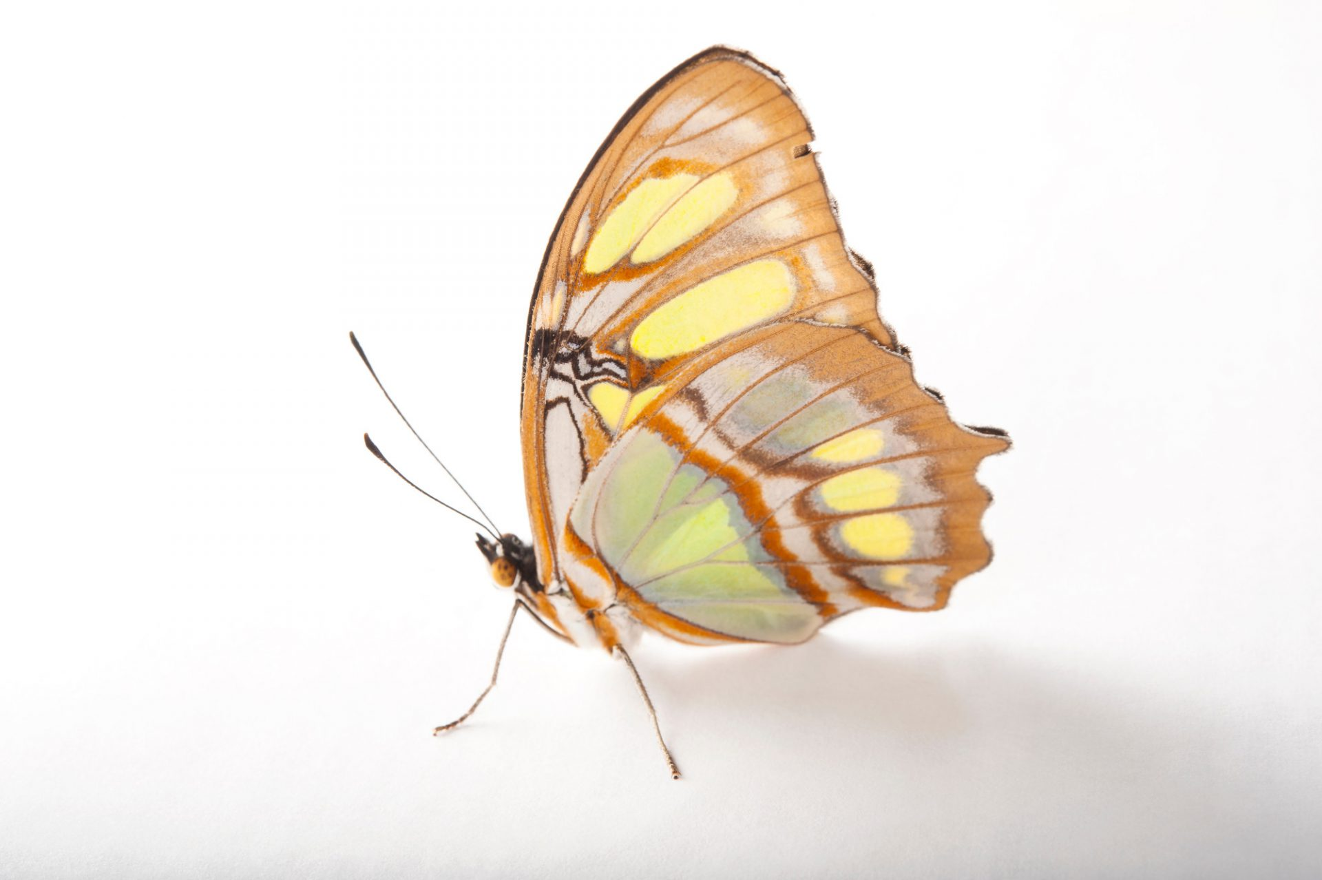 A malachite butterfly (Siproeta stelenes) at the Insectarium in New Orleans, Louisiana.