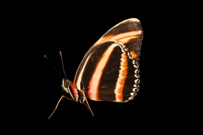 A banded orange heliconian butterfly (Dryadula phaetusa) at the Insectarium in New Orleans, Louisiana.