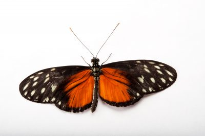 A tiger longwing butterfly (Heliconius hecale) at the Insectarium in New Orleans, Louisiana.