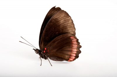 A red rim butterfly (Biblis hyperia) at the Insectarium in New Orleans, Louisiana.