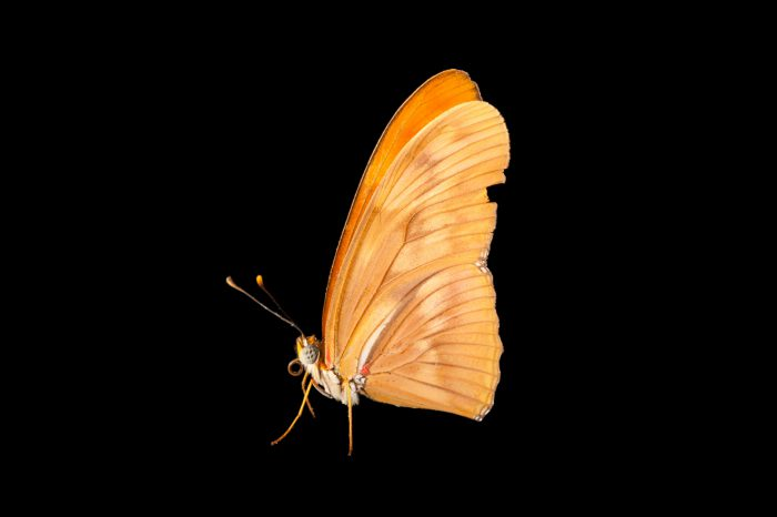 Picture of a Julia butterfly (Dryas iulia largo) at the Insectarium in New Orleans, Louisisna.