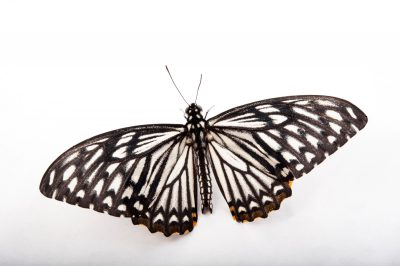 A common mime butterfly (Chilasa clytia) at the Insectarium in New Orleans, Louisiana.