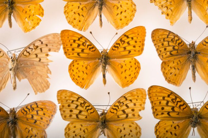 Picture of an extinct Atossa fritillaries (mounted on pins) (Speyeria adiaste atossa) at the McGuire Center for Lepidoptera and Biodiversity.