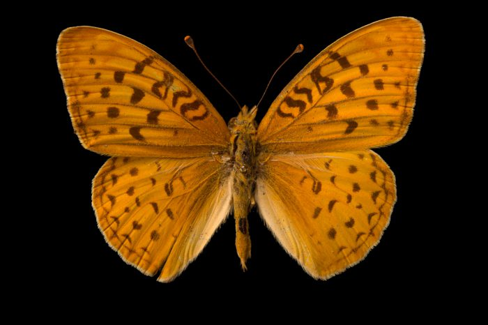 Picture of an extinct Atossa fritillary (mounted on a pin) (Speyeria adiaste atossa) at the McGuire Center for Lepidoptera and Biodiversity.