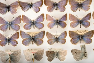 Picture of extinct Pheres blue butterflies (Icaricia icarioides pheres) at the McGuire Center for Lepidoptera and Biodiversity.