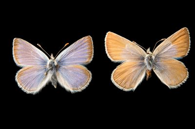 Picture of two extinct Pheres blue butterflies (Icaricia icarioides pheres) at the McGuire Center for Lepidoptera and Biodiversity.