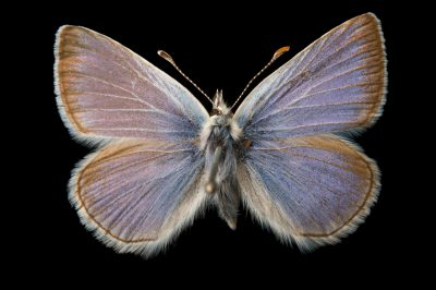 Picture of an extinct Pheres blue butterfly (Icaricia icarioides pheres) at the McGuire Center for Lepidoptera and Biodiversity.