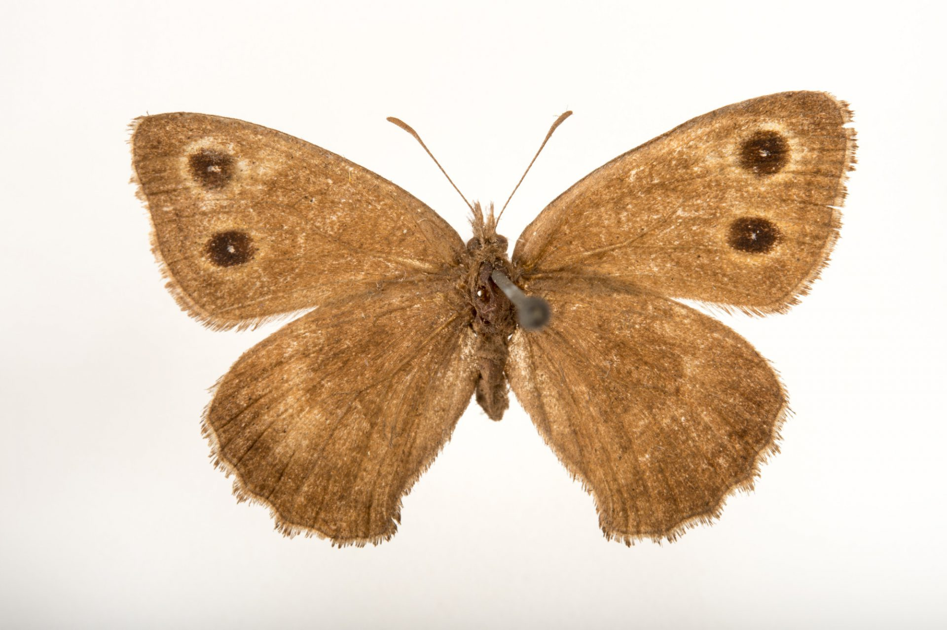 Picture of an extinct Sthenele wood nymph (mounted on a pin) (Cercyonis sthenele sthenele) at the McGuire Center for Lepidoptera and Biodiversity.
