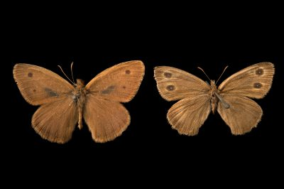 Picture of two extinct Sthenele wood nymphs (mounted on pins) (Cercyonis sthenele sthenele) at the McGuire Center for Lepidoptera and Biodiversity.