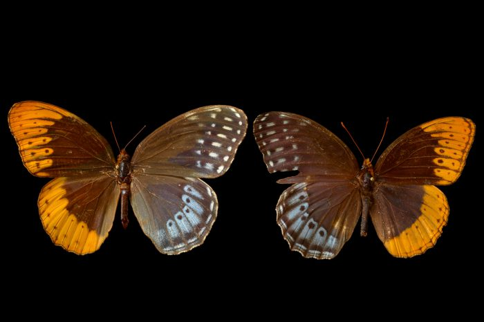 Picture of two Diana fritillaries (mounted on pins) (Speyeria diana) at the McGuire Center for Lepidoptera and Biodiversity.