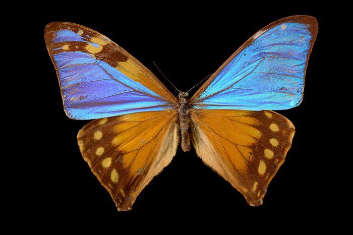 Picture of a butterfly, Morpho aega, at the McGuire Center for Lepidoptera and Biodiversity.