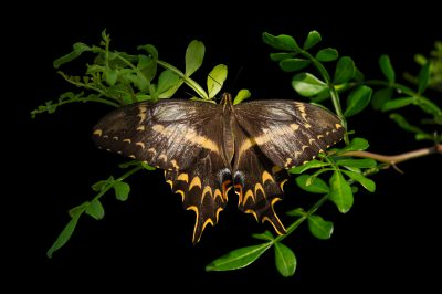 Picture of a Schaus' Swallowtail (Papilio aristodemus) at the McGuire Center for Lepidoptera and Biodiversity.